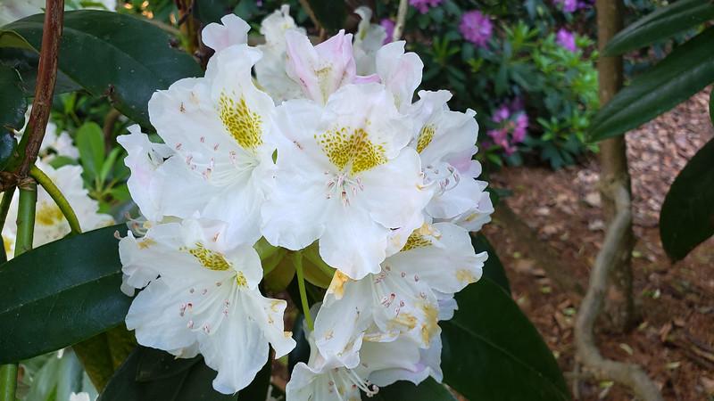 Ontario-Mississauga-PortCredit-RhododendronGarden-09.jpg