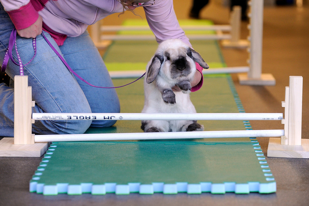 . BRIGHTON, CO - MARCH 25: Aleya Park, 12, tries to persuade her rabbit, Sadie, to hop over a small jump at the Adams County Fairgrounds Event Center on March 25, 2014, in Brighton, Colorado. Park is part of the Adams County Rabbit Hopping group, which is made up of eleven youngsters who participate in 4-H projects through Adams County. They are training for the Adams County Fair which will take place at the end of July. (Photo by Anya Semenoff/The Denver Post)