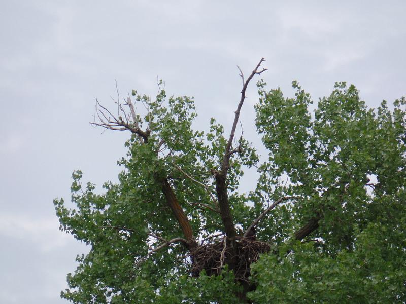 Nest for bald eagle