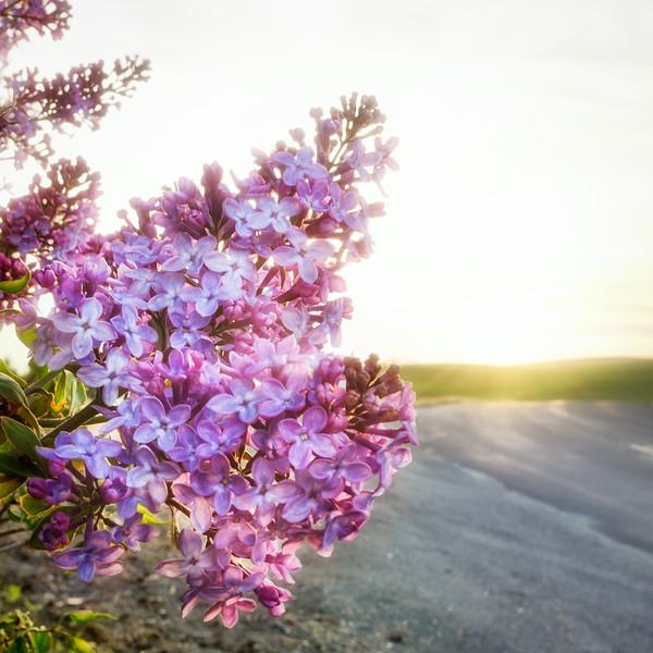 Palouse Lilac