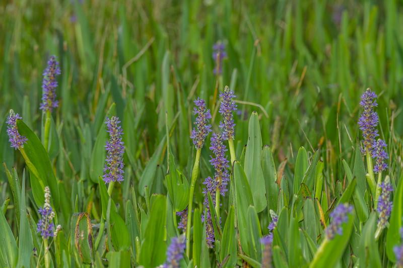 Pontederia cordata - Pickerel-Weed