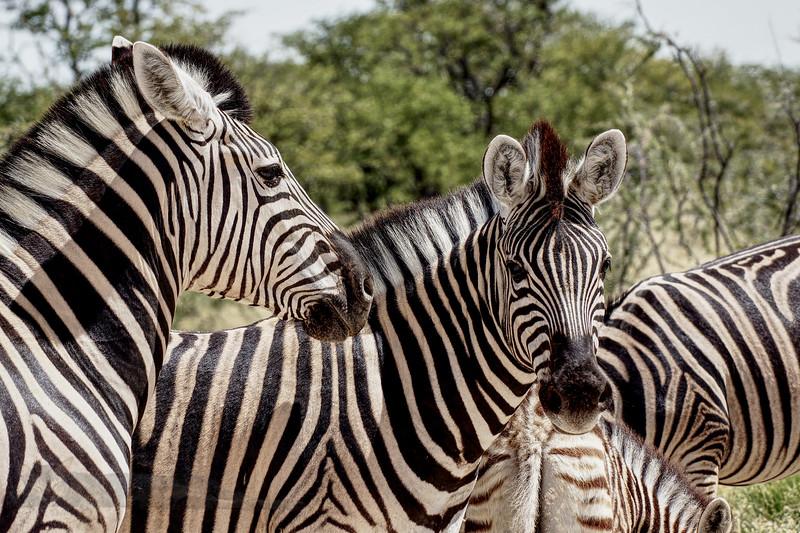 Zebra in Etosha National Park