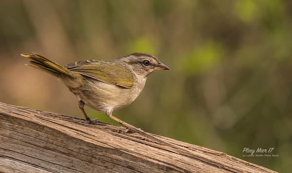 Olive Sparrow OP.jpg
