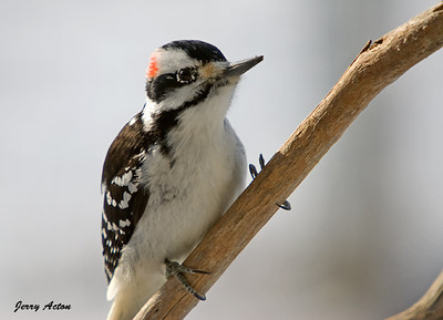 Woodpecker - Hairy