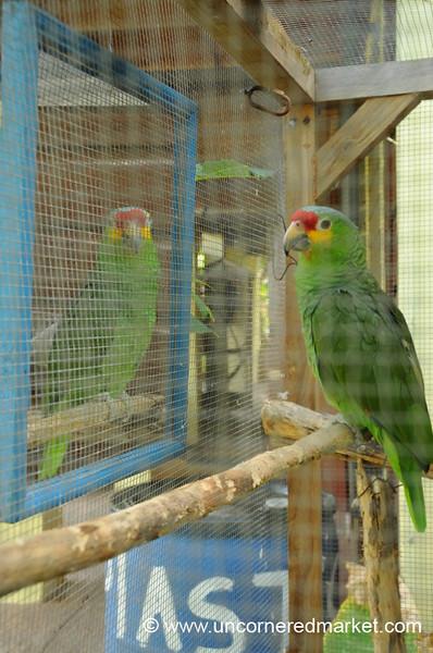 Parrot Looking at Himself in Mirror - Utila, Honduras