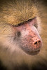 Close up headshot photograph of a Baboon in Africa. Photography fine art photo prints print photos photograph photographs image images artwork.