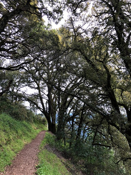 Among the Giant Oaks