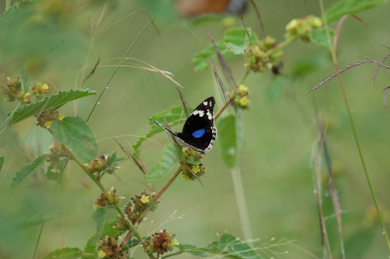 Sommerfugl, Kruger National Park
