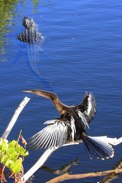 Anhinga - Everglades National Park, FL