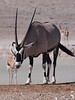 Oryx 3