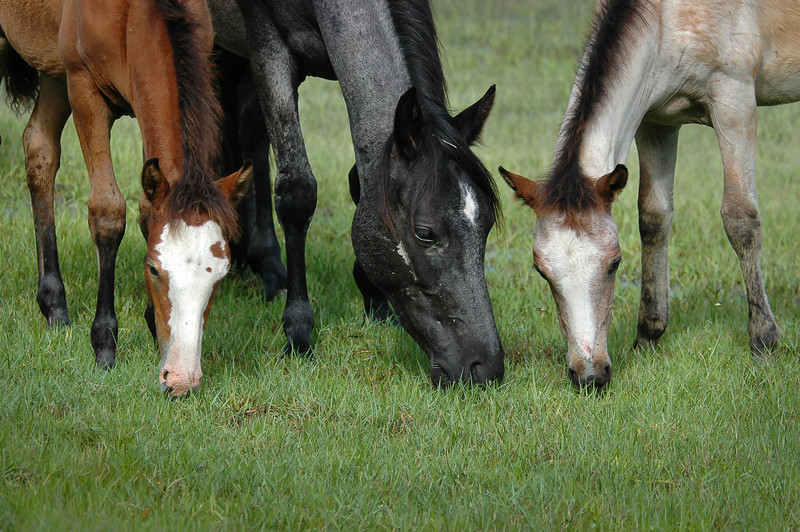 Wild Horse Mare and Foals Grazing in Salt Marsh