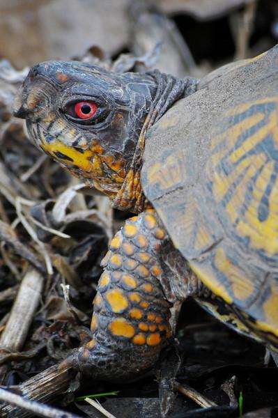 Eastern Box Turtle at Spaulding.