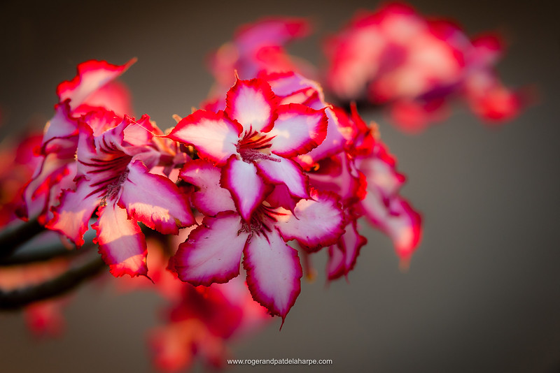 The Kruger National Park camps can be super-productive – the animals that hang around them are very habituated to humans and you can get close to subjects like this impala lily.  Nikon D3x and 200-400mm f/4 lens. 1/250 sec at f/8. ISO 400