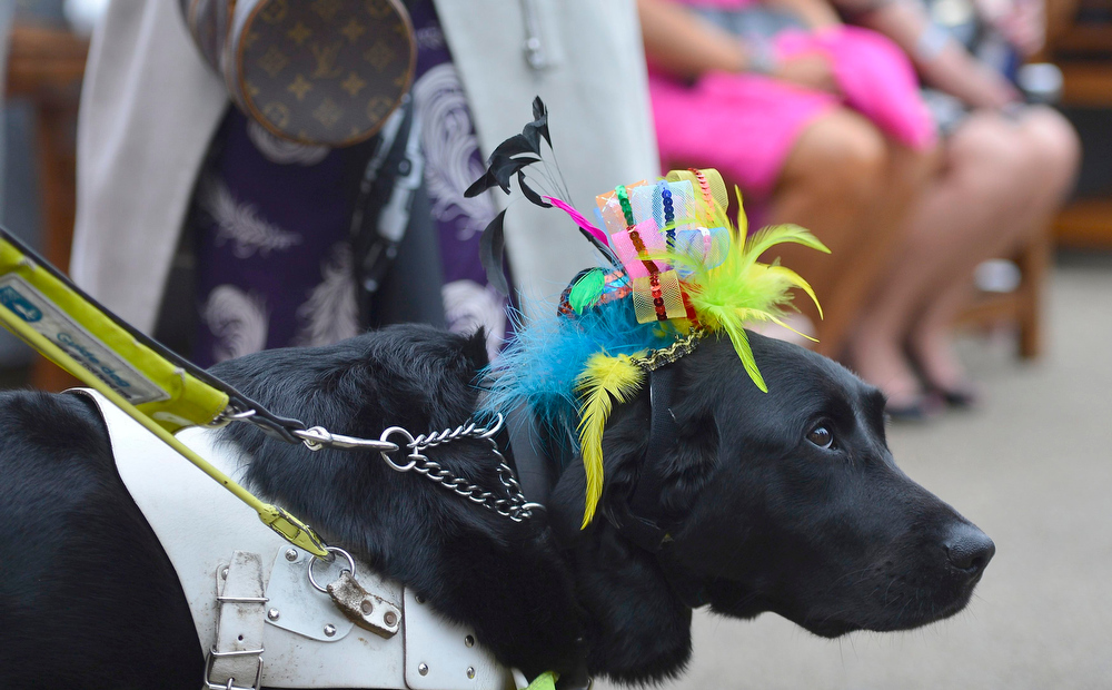. A guide dog for the blind wears a hat as it arrives with its owner on Ladies\' Day at the Royal Ascot horse racing festival at Ascot, southern England June 20, 2013.  REUTERS/Toby Melville