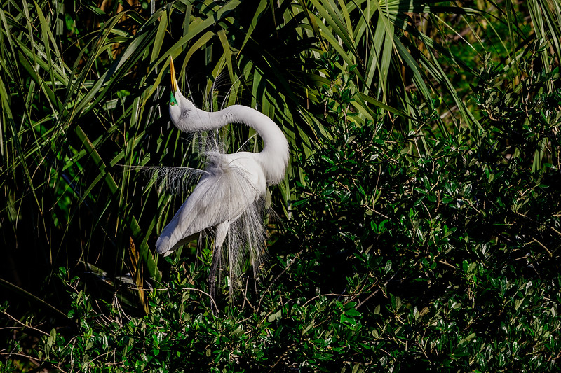 Great Egret Sky Pointing