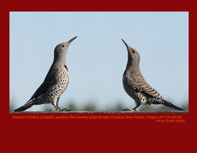 Northern Flickers Red-Shafted F66703.jpg