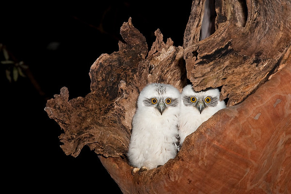 Owls, Frogmouths