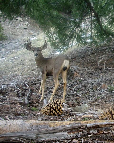 Mule Deer Buck1.jpg