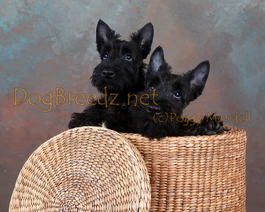Basil, Patti & Brenda  - Scottish Terrier Puppies
