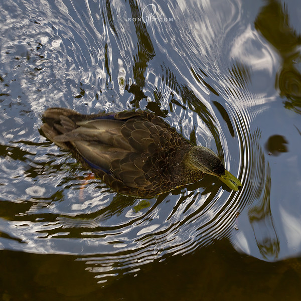 sm black duck_M4D8770-2.jpg