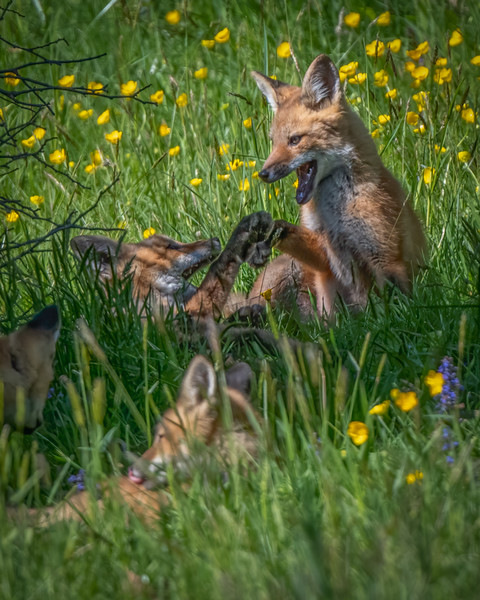 Fox Kits Playing