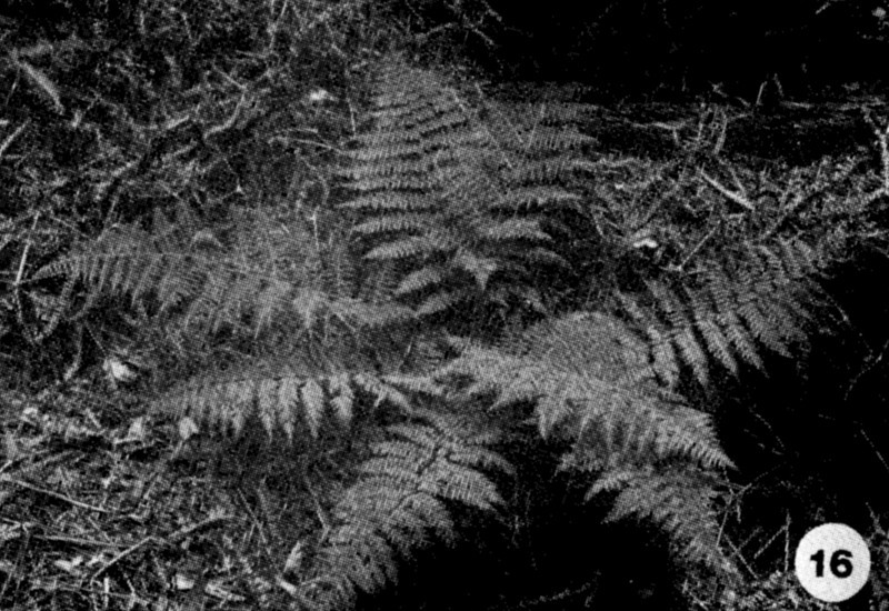 16. Athyrium microphyllum Image from the Kaala Bog Plant Guide: Kaala Natural Area Reserve, Mt. Kaala, Oahu, a 1992 publication of the State of Hawaii (DLNR/DOFAW) .