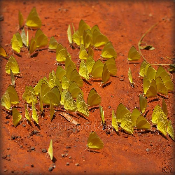 Lemon Emigrnat Butterflies - Catopsilia pomona.jpg