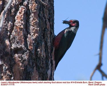 Lewis'WoodpeckerA77776.jpg