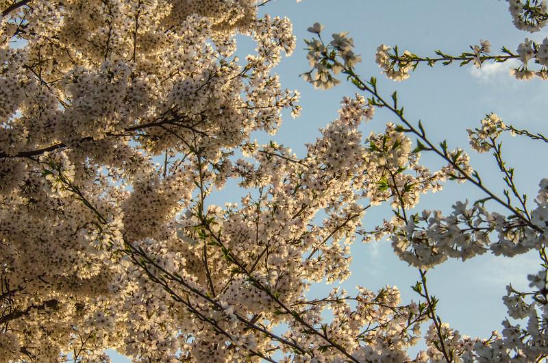 Cherry Blossom Tidal Basin Early Morning -34.jpg