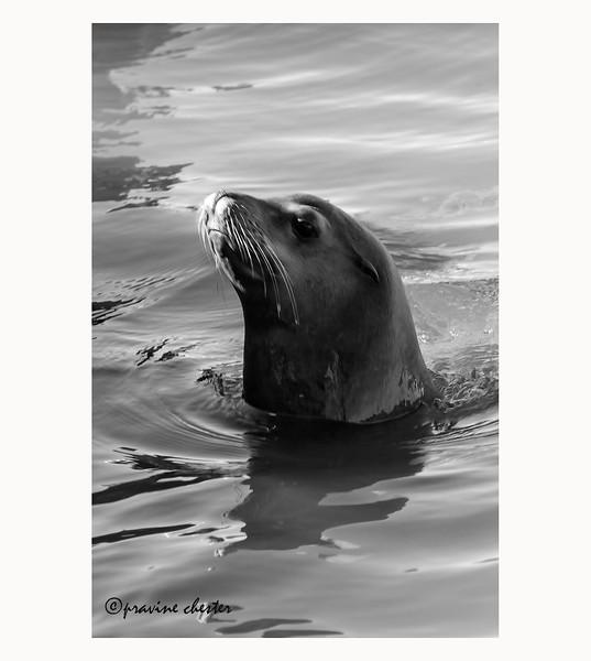 Sea Lions of Pier 39