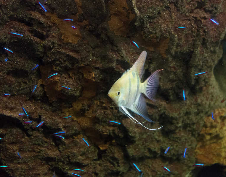Inside a blur of fish -- this fellow with his tiny blue friends.