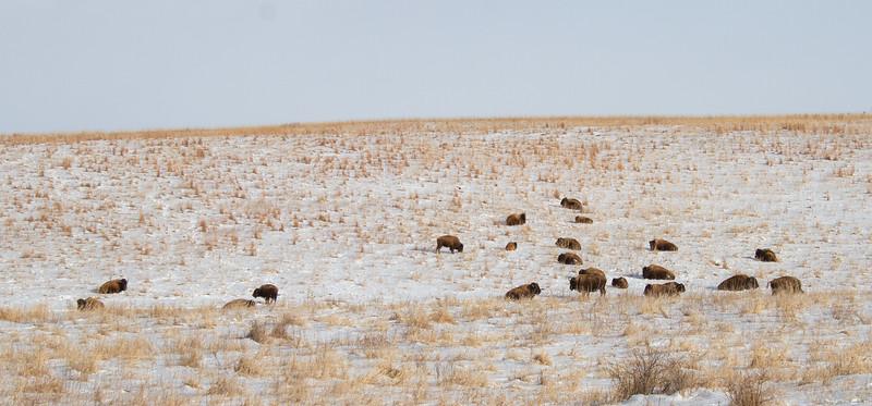 Bison Neal Smith National Wildlife Refuge NWR Prairie City IA  IMG_2187.jpg