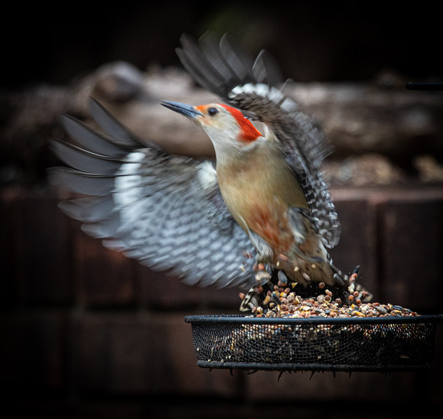 Red-brested Woodpecker