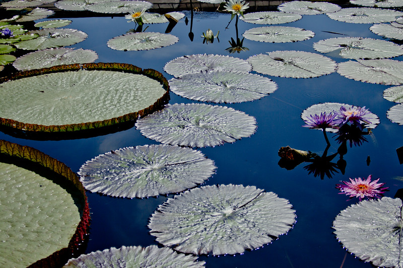 Dark Blue Waters and Water Lilies