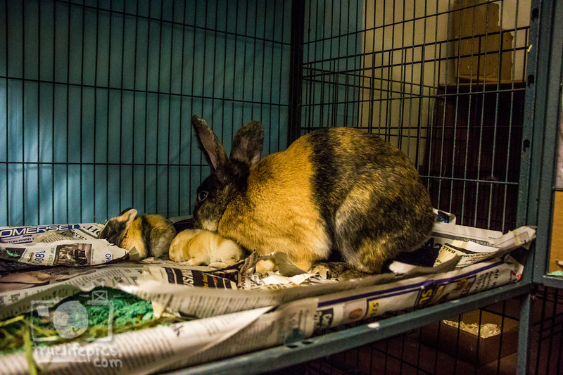 August 16, 2016 12 day old kits visit Daddy Bunny (14).jpg