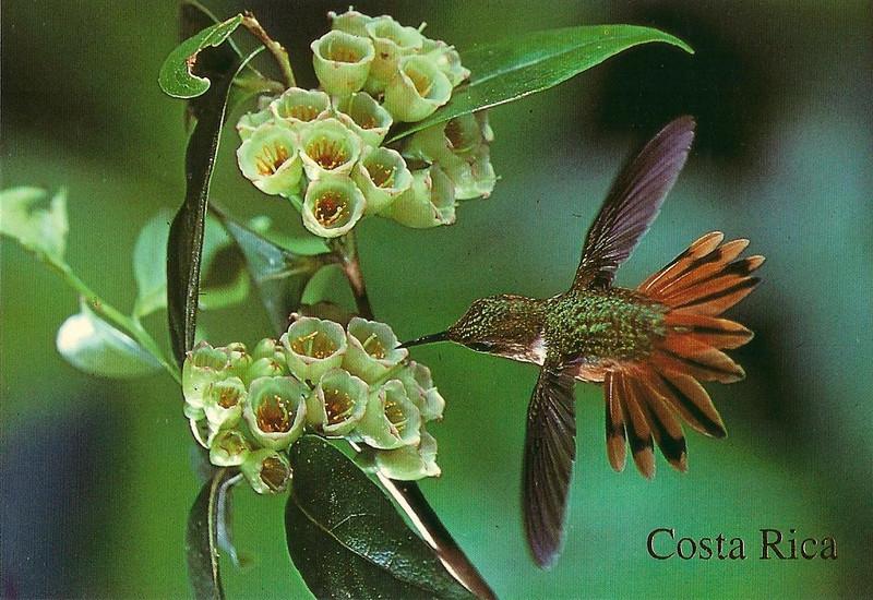042_Hummingbird. 2 gram. Breeds on volcanoes of Costa Rica.jpg
