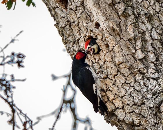 Acorn Woodpeckers - Melanerpes formicivorus