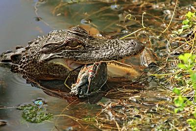 Alligators & Hogs In The Wildkingdom of Brazos Bend SP.