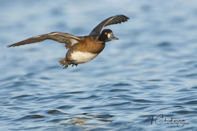 Lesser Scaup Hen in Flight-1549332104058.jpg