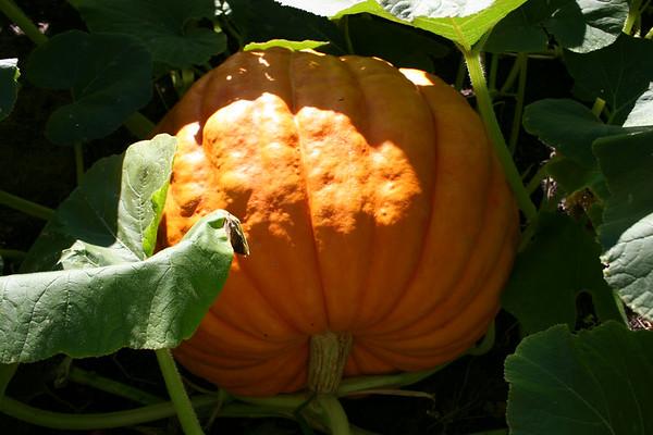 Pumpkins 2005
