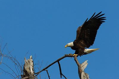 Bald Eagles in Baytown (Jan 2010)