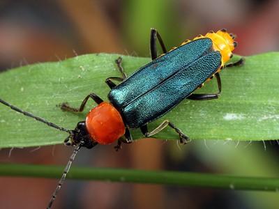 Cantharidae - Soldier Beetles