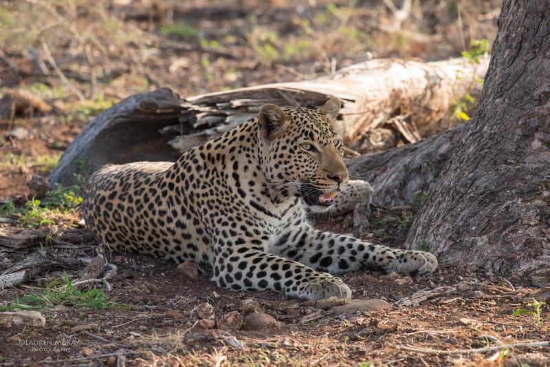 Leopard, Madikwe GR (Imp), SA, Sept 2015.jpg