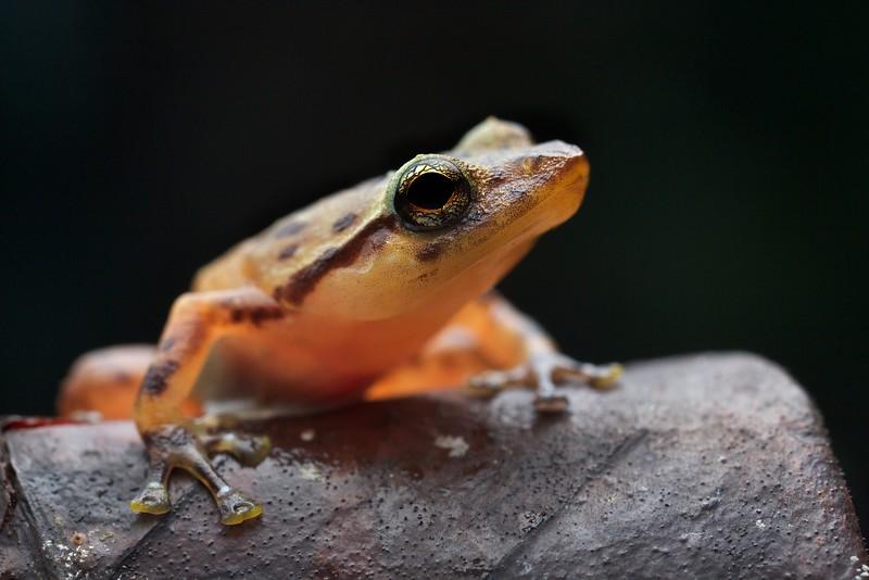 Microhylid frog (Platypelis tuberifera)