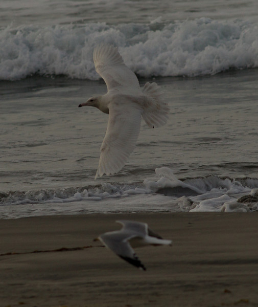 Glaucous Gull Oceanside  2014 02 26-3.CR2