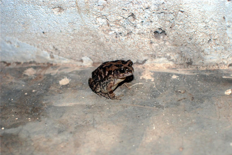 The toad that ate the cricket.