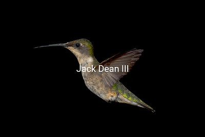 Ruby-throated Hummingbird - Female
