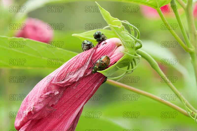 Japanese Beetles (Popillia japonica) Mating.