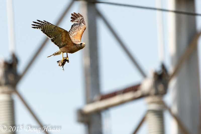 Red-shouldered Hawk Buteo lineatus with Mockingbird in talons.