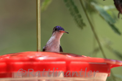 Violet-Crowned Hummingbirds